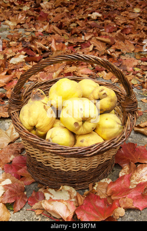 Organic fruits. A basket of quinces (Cydonia Oblonga), surrounded by colourful autumn leaves. La Drôme, France. - Stock Photo