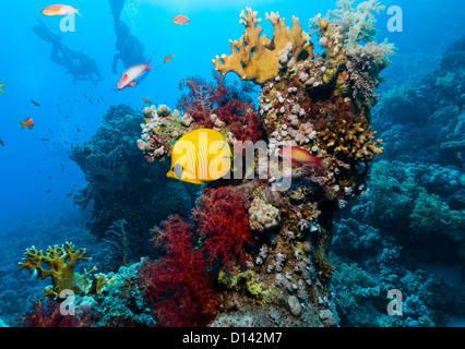 Silhouette of SCUBA divers behind a bright yellow masked butterflyfish along with hard and soft corals on a coral - Stock Photo