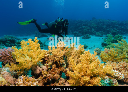 A SCUBA diver on a coral reef next to a variety of colorful soft corals - Stock Photo