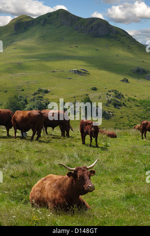 Typical rural scene of Auvergne cattle on high plateau in Puy de dome district of France - Stock Photo