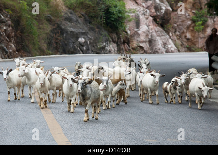 Sheep being herded down a rural in Guilin County, Guangxi Autonomous Region, China - Stock Photo