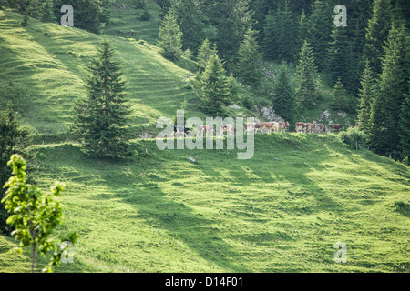 Cows walking along grassy hillside - Stock Photo