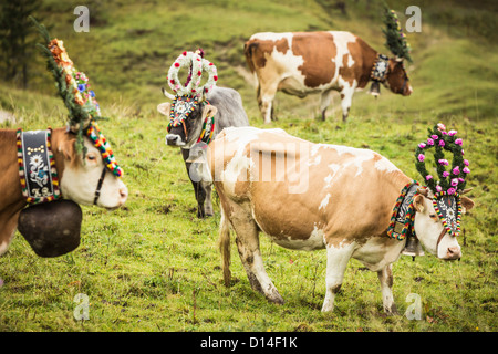Cows wearing headdresses in grassy field - Stock Photo