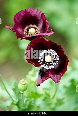 Close up of purple flowers outdoors - Stock Photo