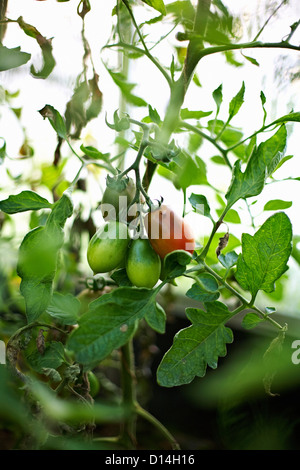 Tomatoes growing on vine outdoors - Stock Photo