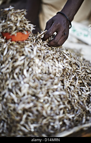 Maasai man picking up a handful of Kapenta fish - Stock Photo
