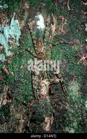 Forest huntsman spider (Pandercetes plumipes: Sparassidae) female on a tree trunk in rainforest Sumatra - Stock Photo