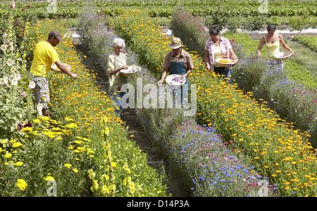 Older people picking flowers in field - Stock Photo