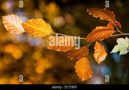 Autumnal colours beech tree. - Stock Photo