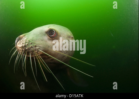 A young male Steller Sea Lion, Eumetopias jubatus, swims in the murky waters north of Vancouver Island, British - Stock Photo