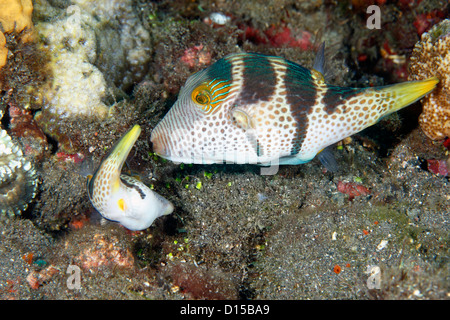 Mating pair of Black-Saddled or Valentines Pufferfish, or Toby, Canthigaster valentini. Tulamben, Bali, Indonesia