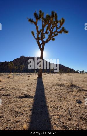 Joshua Tree and shadow, Joshua Tree National Park, California, USA - Stock Photo