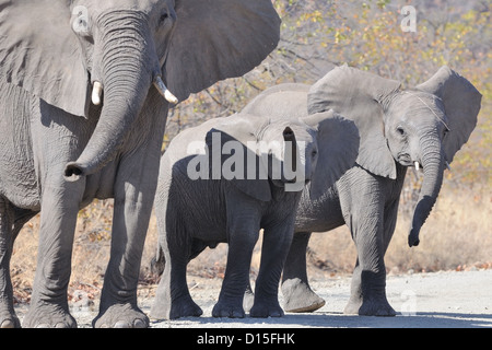 African bush elephants (Loxodonta africana), mother and calves standing on the gravel road, Kruger National Park, - Stock Photo