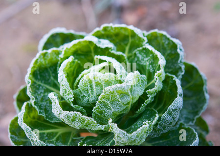 Brussels sprout plant covered in frost in December. - Stock Photo