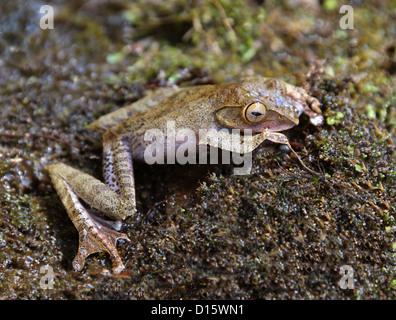 Bright-eyed Madagascan Tree Frog, Boophis madagascariensis, Boophinae, Mantellidae, Anura, Amphibia. Madagascar, Africa.