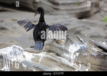 Flightless Cormorant spreading wings on the Galapagos Islands, Ecuador - Stock Photo
