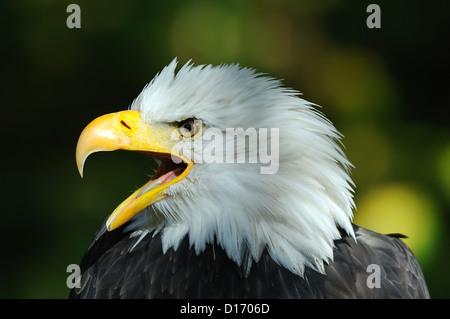 Weißkopfseeadler( Haliaeetus leucocephalus) Bald Eagle • Bayern, Deutschland - Stock Photo