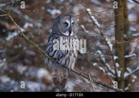 Bartkauz (Strix nebulosa) Great Grey Owl • Baden-Wuerttemberg, Deutschland - Stock Photo