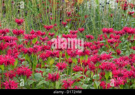 Monarda 'Gardenview Scarlet' - Stock Photo