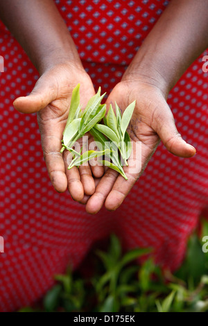 Janet Karimi showing tea leaves has been client of KWFT microfinance since 2007 She is currently servicing loan - Stock Photo