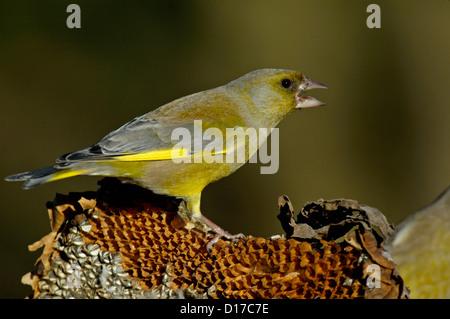 Grünfink, (Carduelis chloris) Greenfinch • Baden-Wuerttemberg, Deutschland - Stock Photo