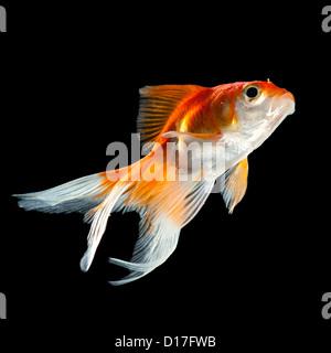 goldfish isolated on a dark black background - Stock Photo