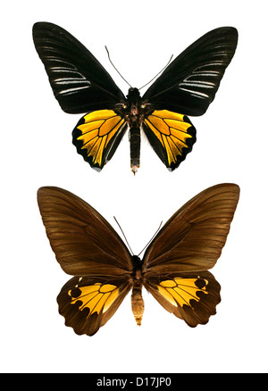 Common Birdwing Butterflies, Troides helena cerberus, Papilionidae, Lepidoptera. India and Asia. Male (top), female - Stock Photo