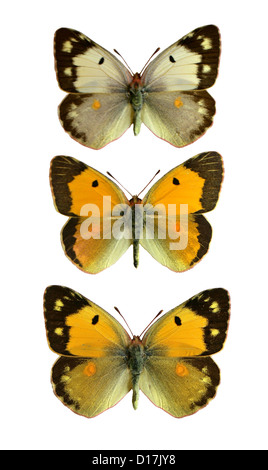 Clouded Yellow Butterflies, Colias croceus, Pieridae, Lepidoptera. (Middle) Male, (Bottom) Female, (Top) Female, - Stock Photo