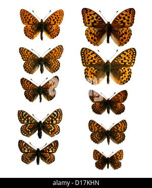 A Group of Mounted Specimen Fritillary Butterflies. Nymphalidae, Lepidoptera. - Stock Photo