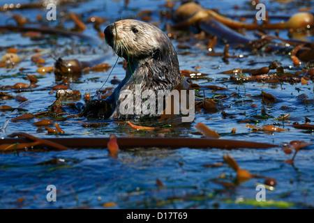 A southern sea otter (Enhydra lutris nereis) in Elkhorn Slough, California. - Stock Photo