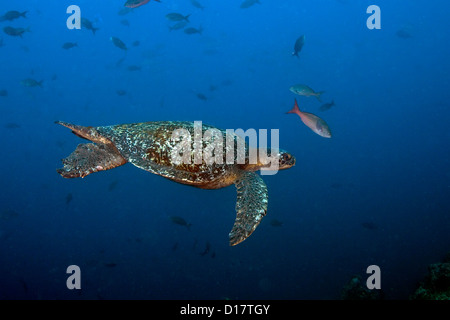 A green sea turtle swims in the open ocean off the coast of the Cocos Island. - Stock Photo