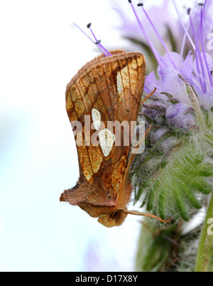 Detailed macro image of a Gold Spot-owl (Plusia festucae, an owlet moth) posing on a purple flower (phacelia or - Stock Photo