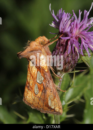 Detailed macro image of a Gold Spot-owl (Plusia festucae, an owlet moth) posing on a purple thistle flower - Stock Photo