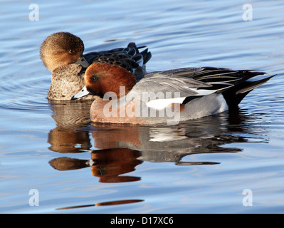 Close-up of a male and female wigeon (Eurasian wigeon - Anas penelope) in winter plumage swimming together in a - Stock Photo