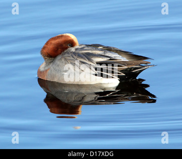 Close-up of a male  wigeon (Eurasian wigeon - Anas penelope) in winter plumage floating and resting in a  lake - Stock Photo