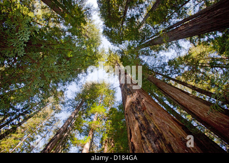View from the bottom of a redwood tree forest looking to the tops. Yosemite National Park. - Stock Photo