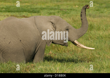 African elephant in swamp eating-trunk in air - Stock Photo