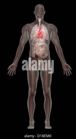 Computer graphic illustration, normal male anatomy - Stock Photo