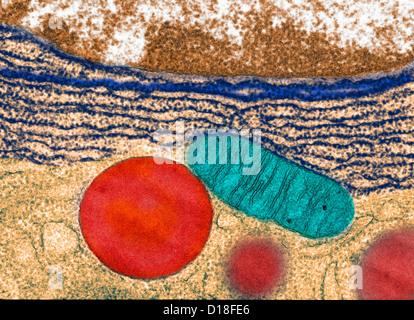 Transmission Electron micrograph pancreas - Stock Photo