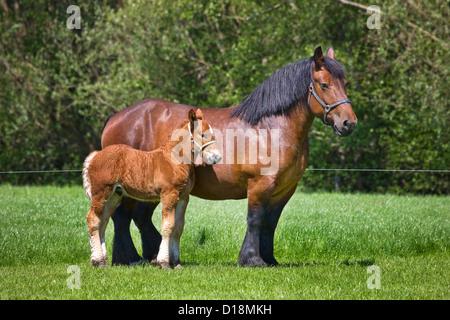 Foal and mare Belgian draft horse / Belgian Heavy Horse / Brabançon / Brabant, draft horse breed in Belgium - Stock Photo