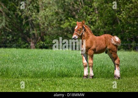 Belgian draft horse / Belgian Heavy Horse / Brabançon / Brabant, foal in pasture, Belgium - Stock Photo