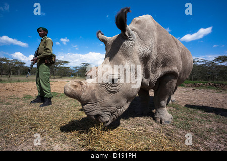 Northern white rhino (Ceratotherium simum cottoni) cow called Najin, with armed guard, Ol Pejeta , Kenya - Stock Photo