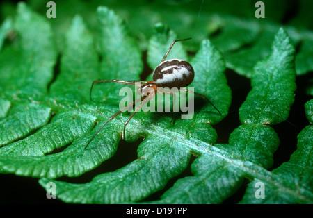 Foliage hammock spider / Platform hammock-spider (Linyphia (Neriene) peltata: Linyphiidae) female on the edge of - Stock Photo