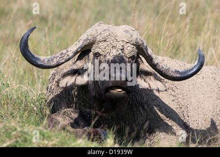 Cape buffalo (Syncerus caffer), with dried mud, Lake Nakuru National Park, Kenya, September 2012 - Stock Photo