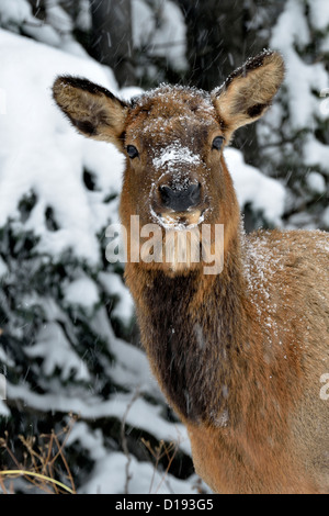 A front view portrait of a wild female elk on a snowy day in northern Alberta Canada. - Stock Photo