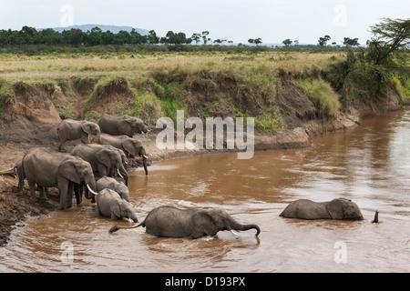 Elephant herd (Loxodonta africana) crossing river, Maasai Mara game reserve, Kenya, Africa, September 2012 - Stock Photo
