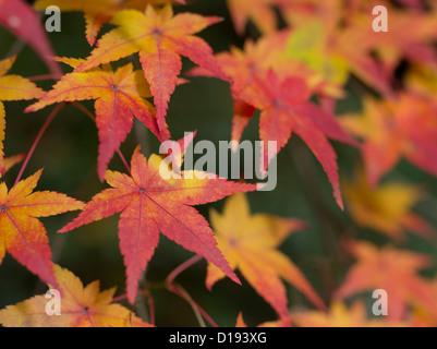 Fall / autumn leaves / foliage outside of Ryōan-ji Zen Buddhist temple in Kyoto Japan. - Stock Photo