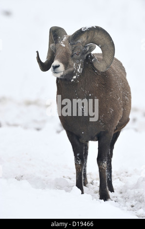 A front view of adult bighorn ram standing in the fresh snow making eye contact. - Stock Photo