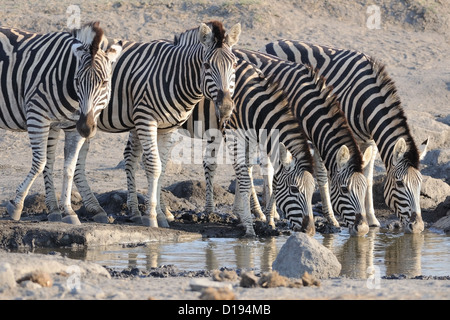 Burchell's zebras (Equus quagga burchellii) drinking at waterhole, Kruger National Park, South Africa, Africa - Stock Photo