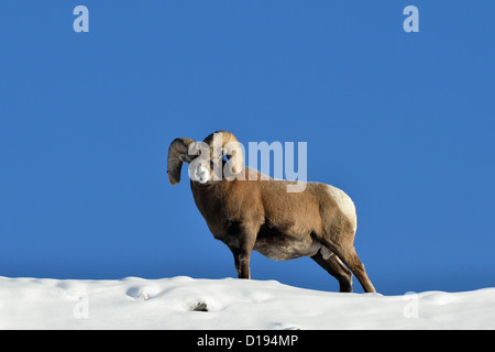 A mature Bighorn ram standing on a snow covered mountain ridge against a blue sky. - Stock Photo